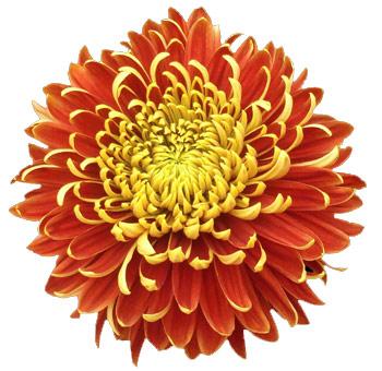 A Mum Flower