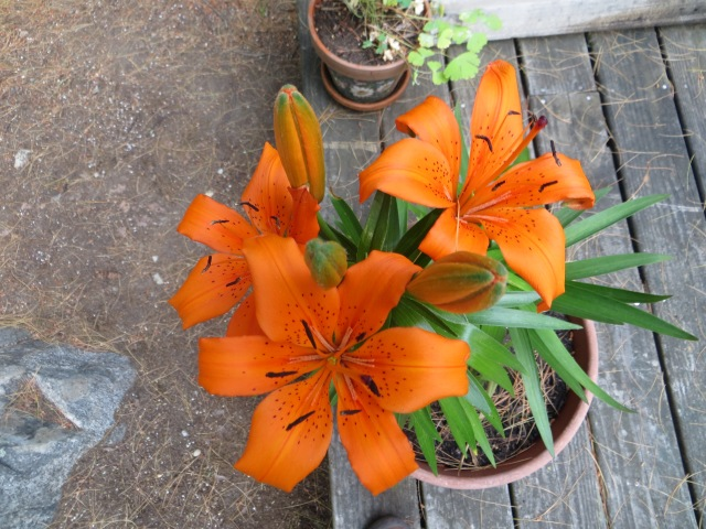 Asiatic Lilies Have Bloomed