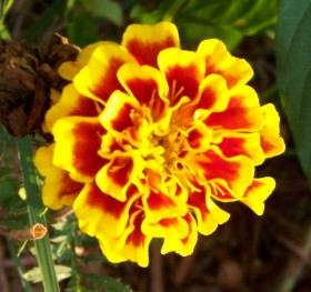 I think this flower looks like a Marigold! :)
