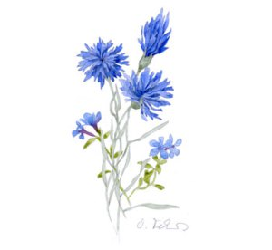 Cornflower Drawing (Not My Work)