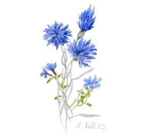Cornflower Drawing (Not My Work)