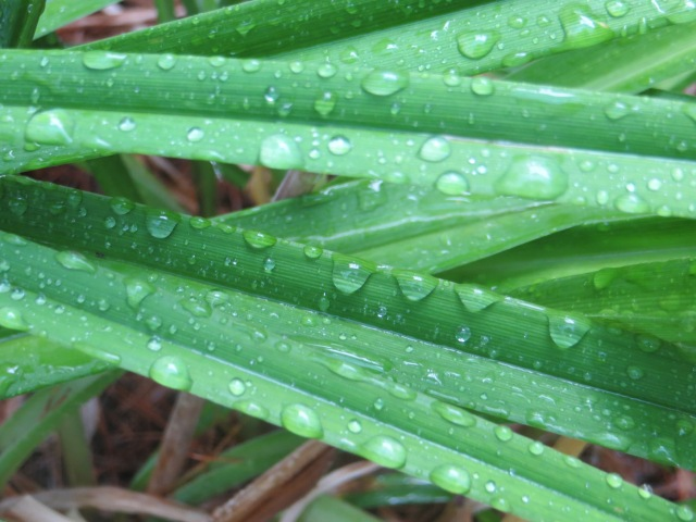 Raindrops On Tiger Lily Leaves