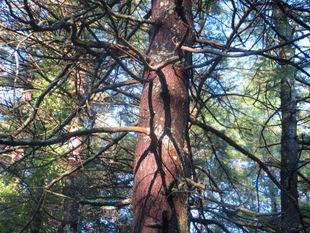 White Pine Standing Proud.