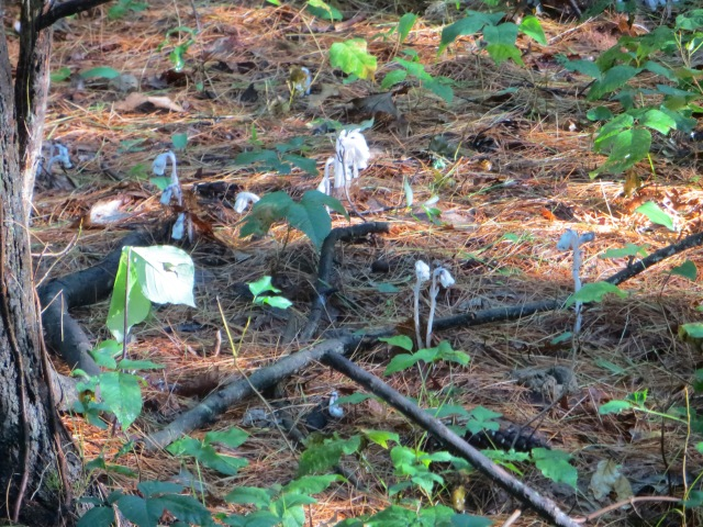 Indian Pipe Mushrooms.
